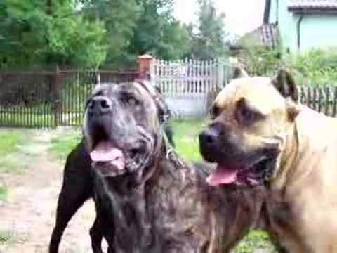 Cane Corso Beauty Dogs Youtube