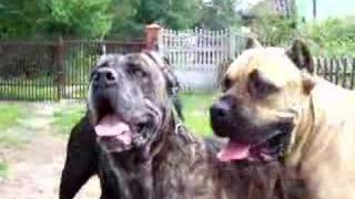 Cane Corso Beauty Dogs