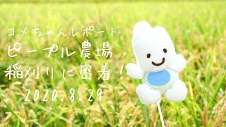 【お米のおもちゃ】ピープル農場の稲刈りにコメちゃんが密着!