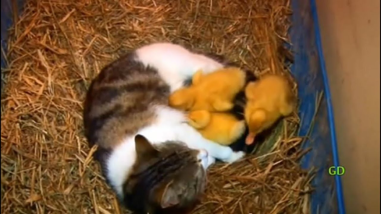 The Cat Amp The Ducklings Animal Odd Couples Youtube