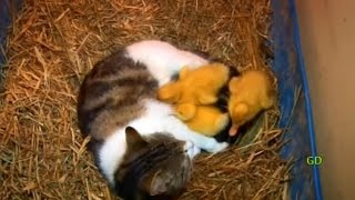 The Cat & The Ducklings (Animal Odd Couples)