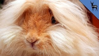 Angora Rabbits Are Skinned Alive