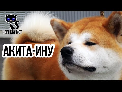 Акита-ину / Интересные факты о собаках