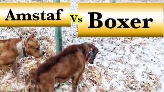 Amstaf vs Boxer dog/Амстаф -собака компаньон?