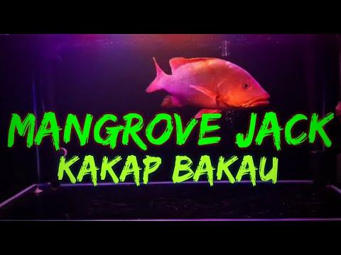 #ikanpredator-#ikangalak-mangrove-jack-|-kakap-bakau