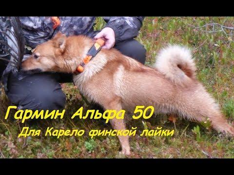 видео: Гармин Альфа 50 с ошейником Т 5 для Карело финской лайки//garmin alpha 50 with t 5 collar for laika