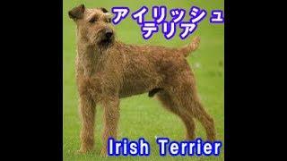 Irish Terrier アイリッシュ・テリア アイルランド原産 Origin of Ireland.