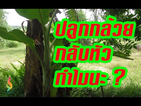 เกษตรกรชาวบ้าน | ปลูกกล้วย แนวใหม่ ปลูกกลับหัว แปลกแต่จริง