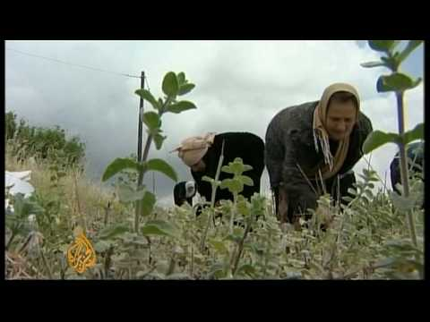 Growing herbs for profit in Jordan