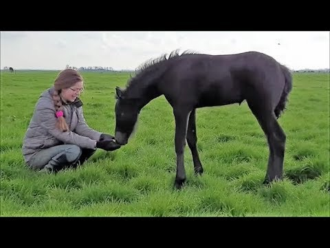 All Friesian horses to the field