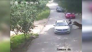 Mulher tenta ajudar e morre atacada por tigre na China