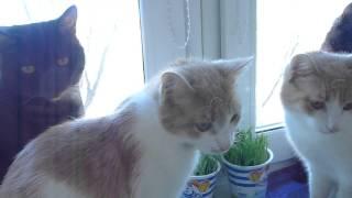 Два кота в квартире: Феликс и Макс дружно едят травку