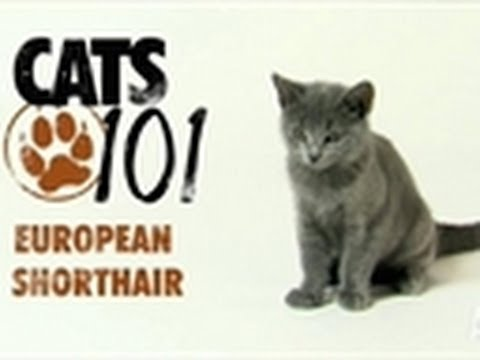european shorthair cats 101 youtube