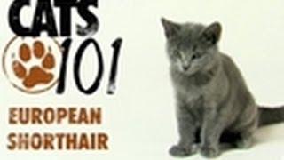 European Shorthair | Cats 101