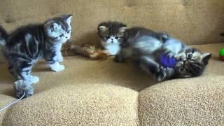 Экзотические котята. Всё семейство :)