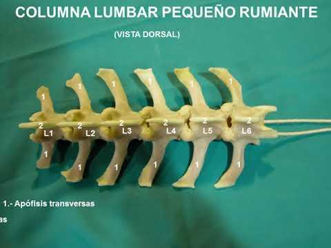 Anatomía Animal Osteologia . Vertebras Lumbares y Sacras - YouTube