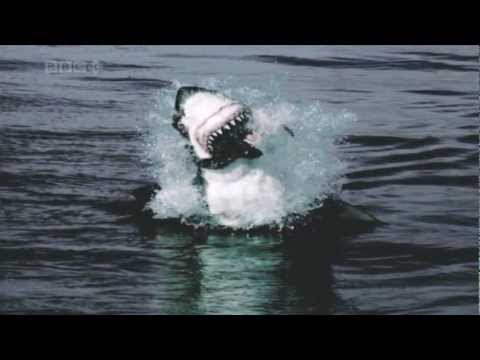 Great White Sharks jumping out of the water to catch seals (HD)