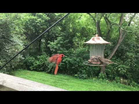 Northern Cardinal landing at a bird feeder in slow motion