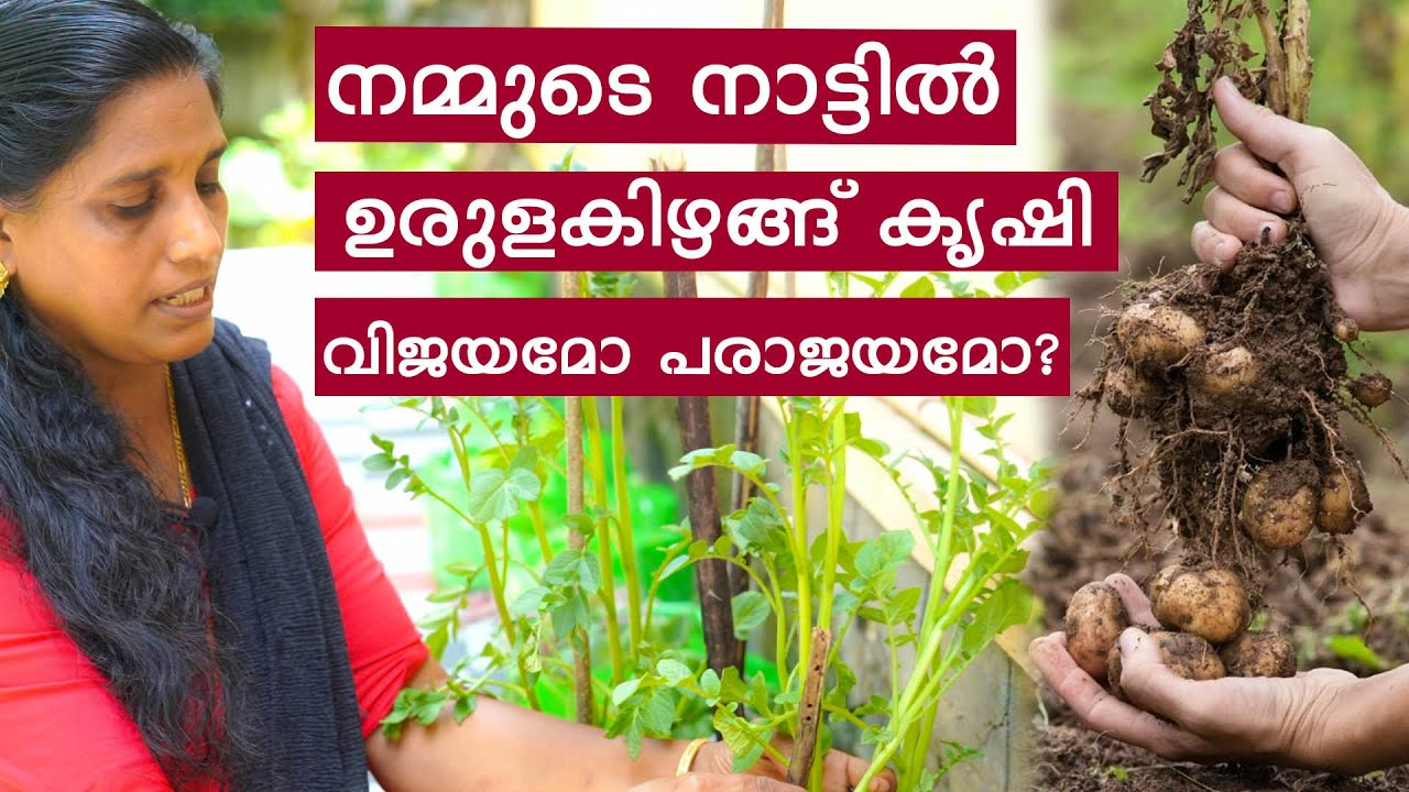 നമ്മുടെ നാട്ടിൽ ഉരുളകിഴങ്ങ് കൃഷി വിജയമോ പരാജയമോ? Potato Krishi Malayalam