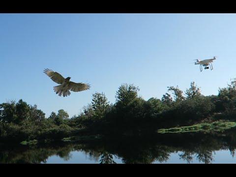 DJI Phantom 3 Professional Drone encounters a HAWK