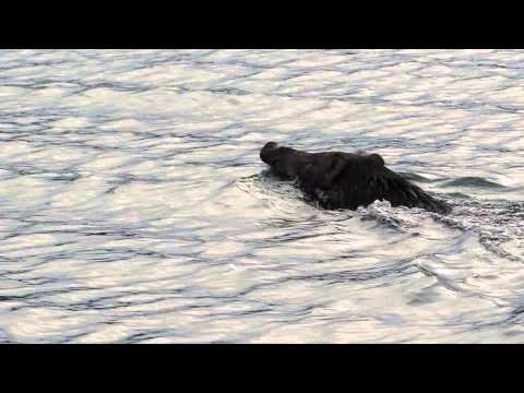 Wild Boar Swims in Hong Kong