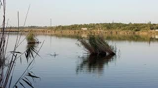 Дикие лебеди Дикая природа Донбасса Харцызск пруд Ржавый Лето 2020 Рыбалка