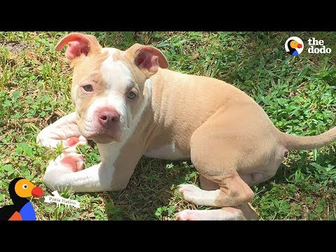 Wobbly Pit Bull Puppy Gets Sister Who Helps Her Run Again | The Dodo Pittie Nation