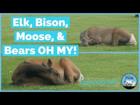 The Wildlife of Yellowstone! - Episode 061