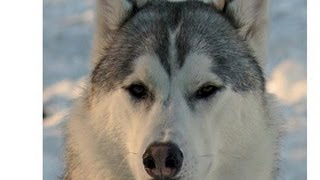 The Siberian Husky (great Pet) Companion & Working Dog!