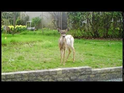 The Deer of Victoria