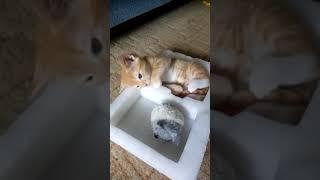Забавный рыжий котёнок играет в коробочке)
