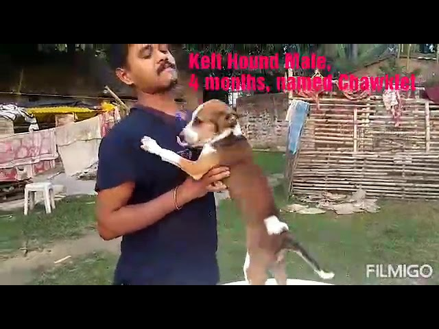 Kelt Hound puppy for adoption.