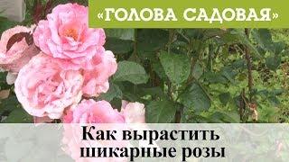 Голова садовая - Как вырастить шикарные розы