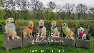 Day in the life of a Golden Retriever Breeder