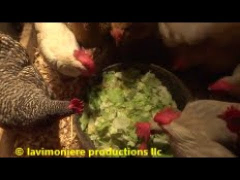 feeding chickens for free in the morning