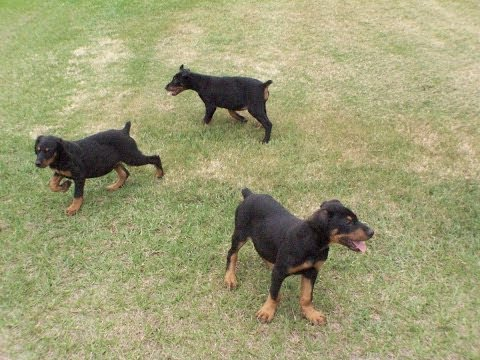 Miniature Dachshund, Puppies, For, Sale, In, Green Bay ...