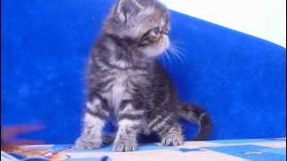 Купить мрамормного экзотического котенка