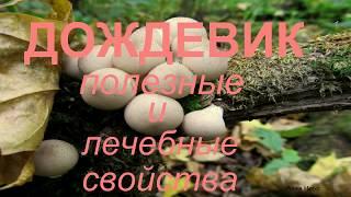 Грибы Дождевики. Полезные и лечебные свойства гриба.Mushroom Raincoat.