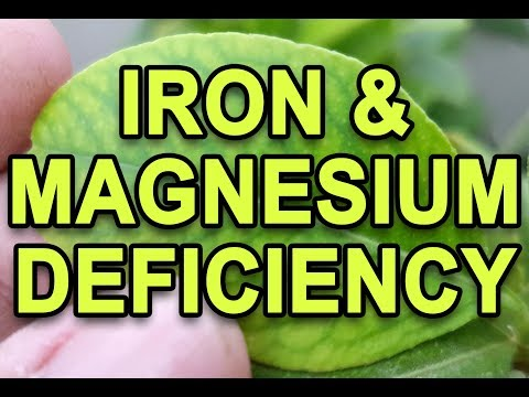 HOW TO IDENTIFY AND TREAT IRON AND MAGNESIUM DEFICIENCY (URDU/HINDI)