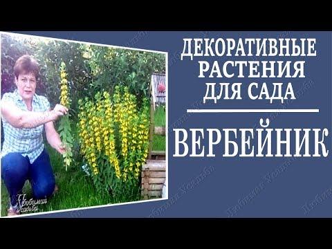 Многолетние цветы для сада. Вербейник