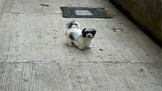 Lhasa Apso And Poodle Brincadeira Monroe E Nina