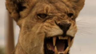 Lioness vs. Buffalo | National Geographic