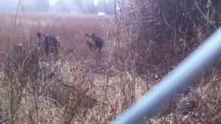 Дикий кабан напал - меня спас забор(, 2015-01-21T13:51:46.000Z)