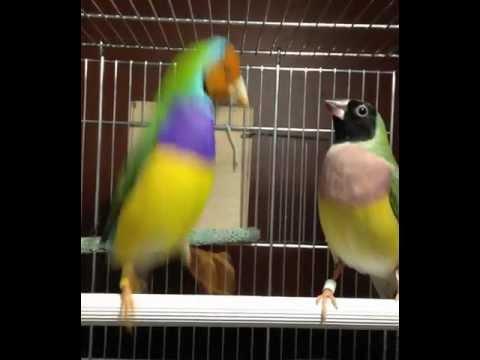 Gouldian Finch Courtship Dance
