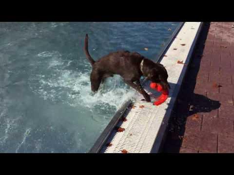 "Labrador Boomer - ""Hund im Freibad"" - Silobad Frankfurt / Main 2016"