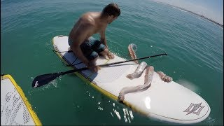 Giant Squid Attacks Surf Board!