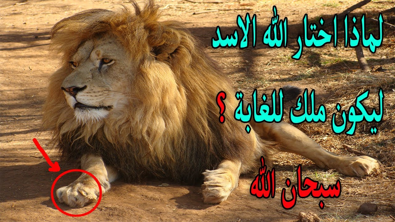 لماذا جعل الله الاسد هو ملك الغابة معلومات ستصيبك بالدهشة Youtube