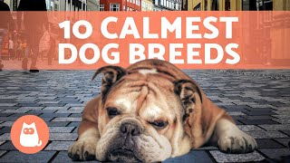 The Top 10 CALMEST DOG BREEDS