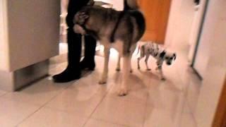 Husky Siberiano Y Cachorro De Dalmata - Siberian Husky And Dalmatian Puppy