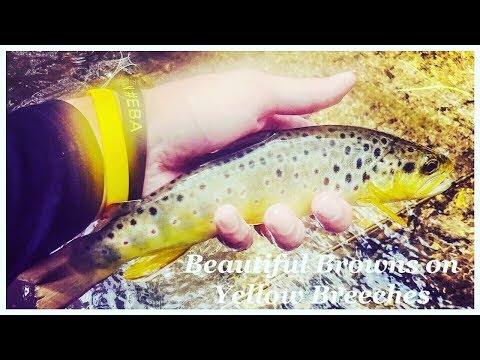 Fly Fishing Yellow Breeches For BEAUTIFUL Trout.
